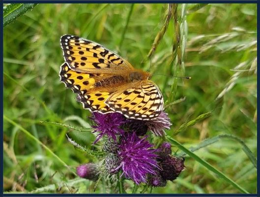Fritillary feeding on thistle
