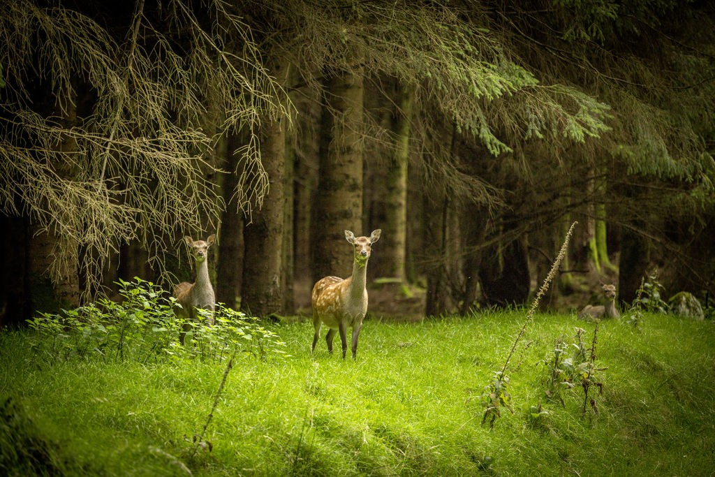 Deer at Hellfire Club